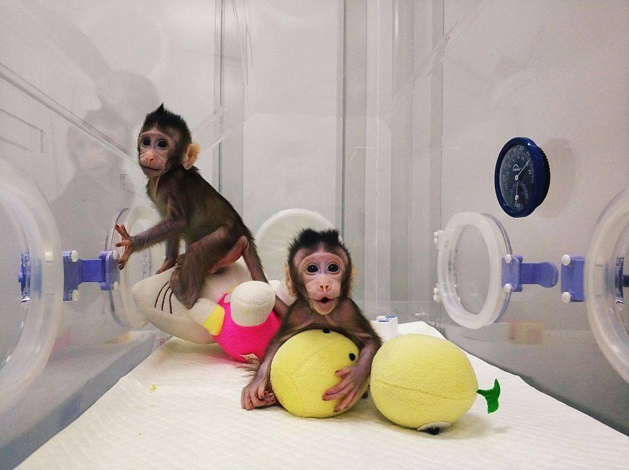 sklonowane małpy