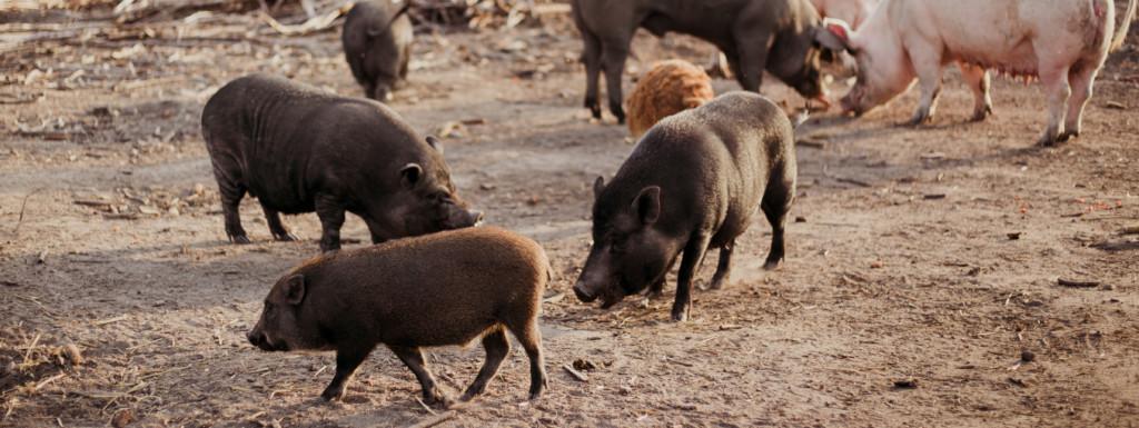 Azyl dla świń Chrumkowo