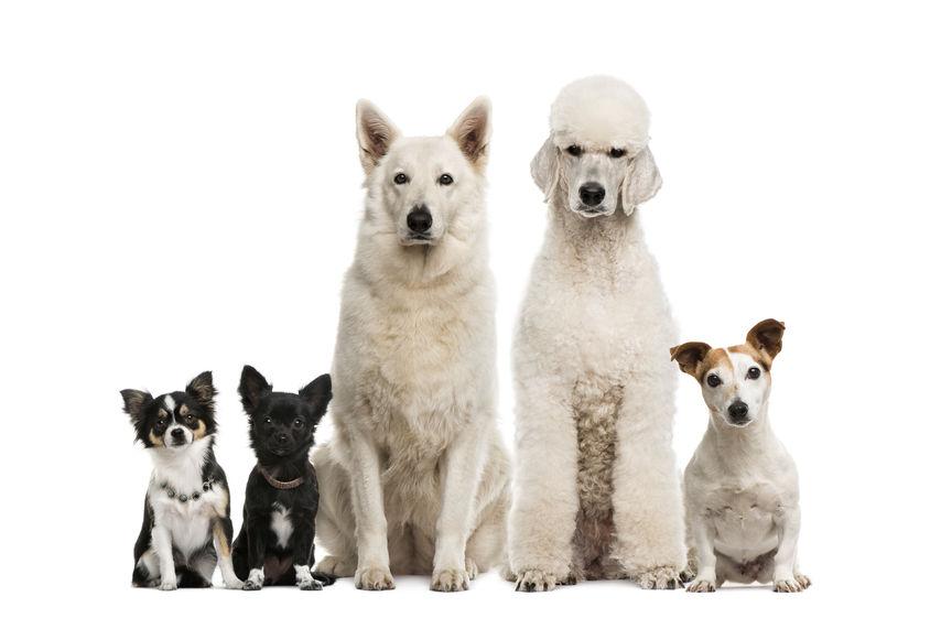 Psy - jak działa olej CBD dla psówy?